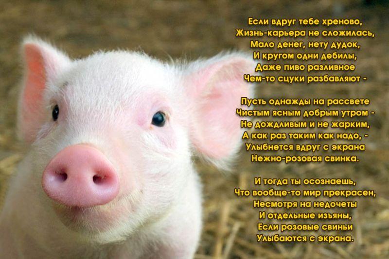 http://serega363.ucoz.ru/svinia.jpg